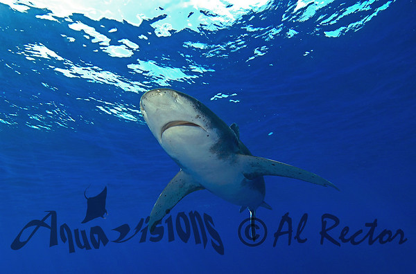 Oceanic Sharks from Bahamas 2010