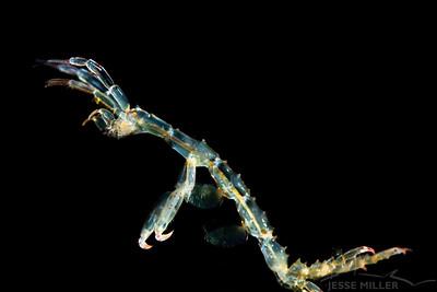 Skeleton Shrimp - Three Tree North in Burien, Washington