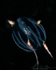 Comb Jelly - Redondo in Des Moines, Washington