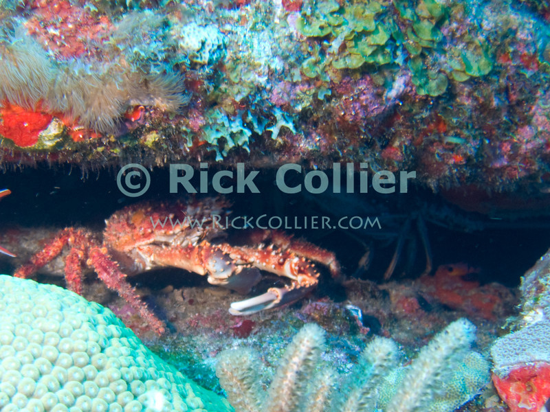 "A reef crab hides with lobster in a hole under the reef.  St. Eustatius (Statia), Netherlands Antilles.<br /> <br /> <br /> <br /> <br /> ""St. Eustatius"" ""Saint Eustatius"" Statia Netherlands Antilles ""Lesser Antilles"" Caribbean underwater diving ocean SCUBA dive reef coral sand bottom sea floor sea bed crustacean shellfish reef crab"