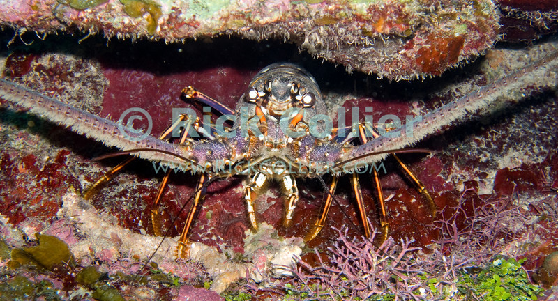 "A large lobster looks out from its hiding place in a Caribbean reef.  Taken while scuba diving the ""Labyrinth"" dive site of Roatan, Honduras.  © Rick Collier"