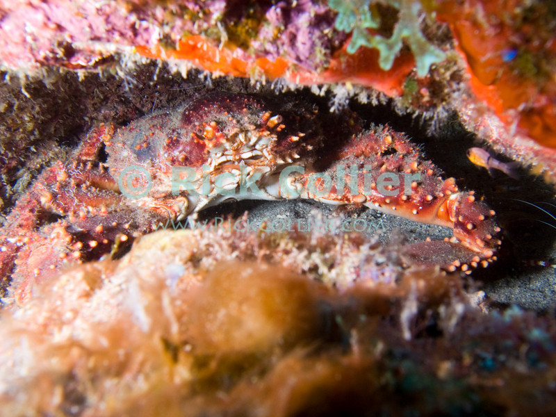 "A reef crab hides in a hole in the reef.  St. Eustatius (Statia), Netherlands Antilles.<br /> <br /> <br /> <br /> <br /> ""St. Eustatius"" ""Saint Eustatius"" Statia Netherlands Antilles ""Lesser Antilles"" Caribbean SCUBA dive diver sea bottom sea floor rocks coral hole reef crab"
