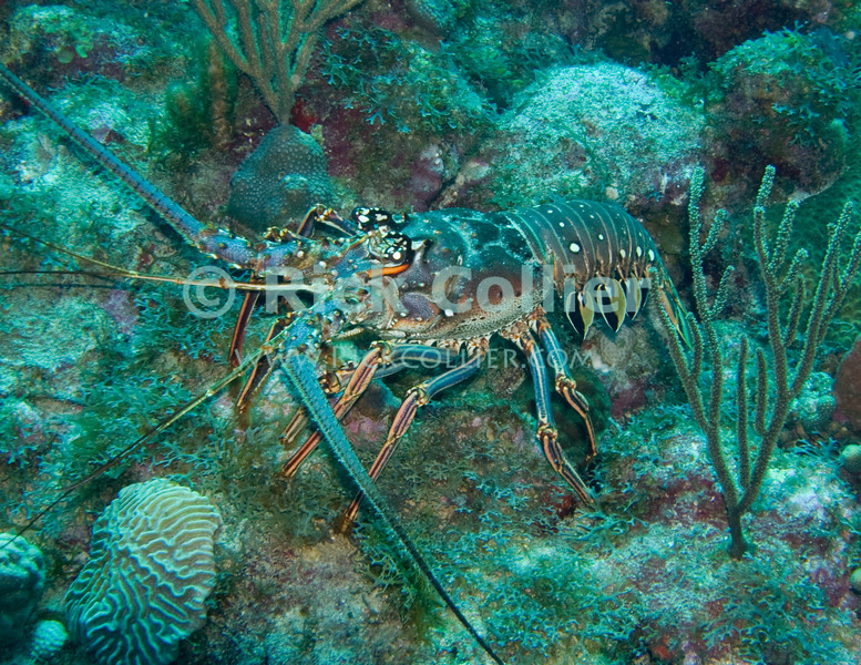 St. Eustatius (Statia) Underwater - This lobster was uncharacteristically curious and came out from his hole in the reef to see what all the scuba divers' bubbles were about.  © Rick Collier