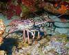 "Lobster.  St. Eustatius (Statia), Netherlands Antilles.<br /> <br /> <br /> <br /> <br /> ""St. Eustatius"" ""Saint Eustatius"" Statia Netherlands Antilles ""Lesser Antilles"" Caribbean underwater diving ocean SCUBA dive reef soft coral shellfish crustacean lobster"