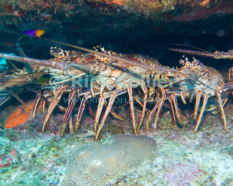 """A group of lobster on alert in a small cave.  St. Eustatius (Statia), Netherlands Antilles.<br /> <br /> <br /> <br /> <br /> """"St. Eustatius"""" """"Saint Eustatius"""" Statia Netherlands Antilles """"Lesser Antilles"""" Caribbean underwater diving ocean SCUBA dive reef coral shellfish crustacean lobster cave hole"""