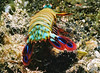 Mantis shrimp scuttling away from the photographer