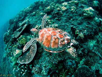 Hawkesbill Turtle