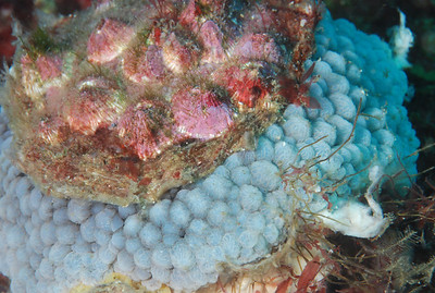 """Umbrella shell,  """"Umbranculus umbranculus"""".  I have only ever seen this once near the dive-site Fish Soup."""