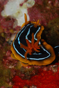 "Magnificent Chromodoris,  ""Chromodoris magnifica"". You are not really supposed to photograph Nudibranch from behind, but this view eye catching."