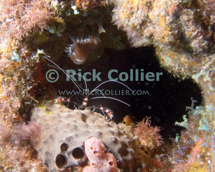 "A banded shrimp appears to guard its home hole.  A feather duster worm provides decoration above the shrimp.  St. Eustatius (Statia), Netherlands Antilles.<br /> <br /> <br /> <br /> <br /> ""St. Eustatius"" ""Saint Eustatius"" Statia Netherlands Antilles ""Lesser Antilles"" Caribbean SCUBA dive diver sea bottom sea floor sand fish wreck shipwreck sunken boat crustacean banded shrimp"