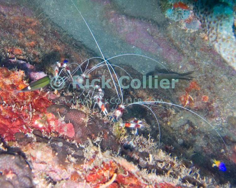 """A pair of banded shrimp (red-banded cleaner shrimp).  St. Eustatius (Statia), Netherlands Antilles.<br /> <br /> <br /> <br /> <br /> """"St. Eustatius"""" """"Saint Eustatius"""" Statia Netherlands Antilles """"Lesser Antilles"""" Caribbean underwater diving ocean SCUBA dive banded shrimp"""