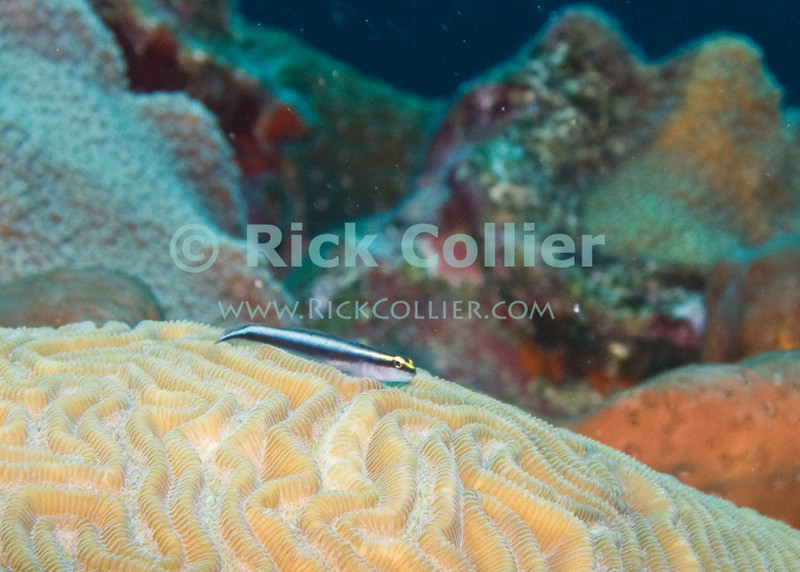 St. Eustatius (Statia) Underwater - A cleaner fish (gobie) has set up his fish cleaning station on top of a brain coral.  © Rick Collier