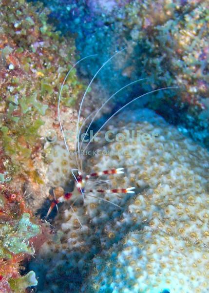 """Banded Shrimp (""""red banded cleaner shrimp"""").  St. Eustatius (Statia), Netherlands Antilles.<br /> <br /> <br /> <br /> <br /> """"St. Eustatius"""" """"Saint Eustatius"""" Statia Netherlands Antilles """"Lesser Antilles"""" underwater ocean SCUBA dive banded shrimp cleaner sponge"""
