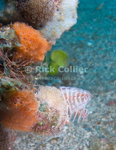 St. Eustatius (Statia) Underwater - A large diversity of filter feeders, all on one small rock.  Christmastree worms are framed by sponges and soft coral polyps.  © Rick Collier