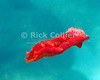 The Spanish Dancer nudibranch is so named because they ruffle the edges of their bodies when swimming, in a way that resembles the hem of a Spanish dancer's red skirt.<br /> <br /> <br /> <br /> <br /> Hawaii scuba snorkel snorkeling underwater u/w fish Spanish Dancer nudibranch swimming