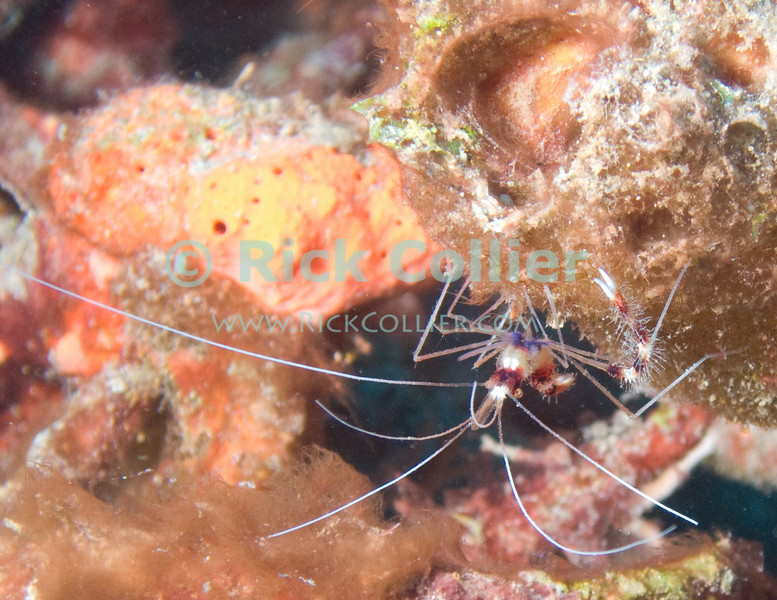 St. Eustatius (Statia) Underwater - A scuba diver can easily miss some of the most common and attractive life forms on a Caribbean reef.  I almost missed this banded reef shrimp, sitting underneath a coral outcropping.  © Rick Collier