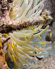 "Small yellow basslet fry hide in the shadow of a giant anemone.  St. Eustatius (Statia), Netherlands Antilles.<br /> <br /> <br /> <br /> <br /> ""St. Eustatius"" ""Saint Eustatius"" Statia Netherlands Antilles ""Lesser Antilles"" Caribbean SCUBA dive diver sea bottom sea floor rocks coral hole reef sand bottom sea floor seafloor sea bed rock giant anemone tentacles fish fry basslet"