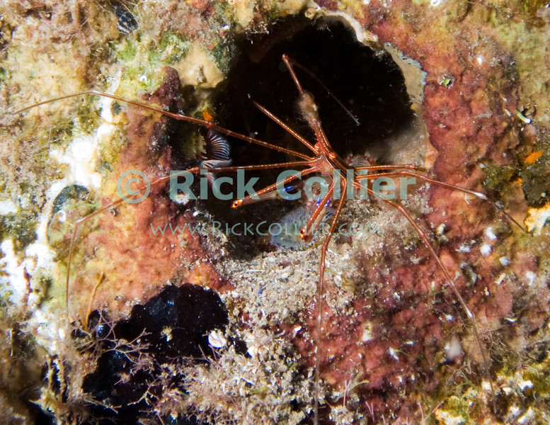 St. Eustatius (Statia) Underwater - While scuba diving the Chien Tong shipwreck, I noticed a yellowline arrow crab emerging from a pump hole in the side of the wreck of the sunken ship.  © Rick Collier