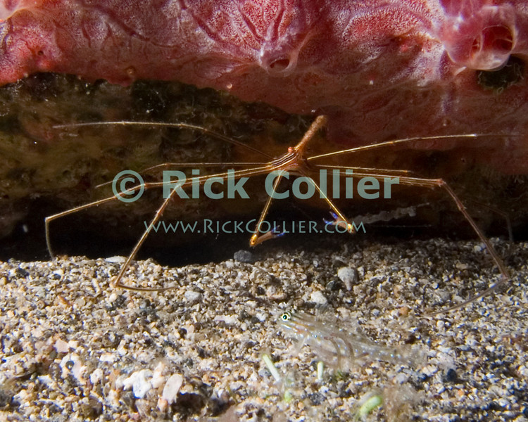 "A yellowline arrow crab hides under the edge of a pink sponge.  A small goby ""hides"" on the open sand in the foreground.  St. Eustatius (Statia), Netherlands Antilles.<br /> <br /> <br /> <br /> <br /> ""St. Eustatius"" ""Saint Eustatius"" Statia Netherlands Antilles ""Lesser Antilles"" Caribbean SCUBA dive diver sea bottom sea floor rocks coral hole reef sand bottom sea floor seafloor sea bed sponge yellowline arrow crab goby fish"