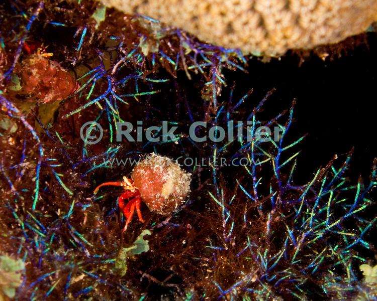 "Diving Bonaire, Netherland Antilles -- A tiny hermit crab negotiates a miniature field of florescent-hued plant life.  (""Karpata"" dive site)  © Rick Collier<br /> <br /> <br /> <br /> <br /> Bonaire; ""Netherlands Antilles""; Caribbean; tropic; tropical; vacation; destination; scuba; diving; dive; ""scuba diving""; underwater; reef; ""Karpata""; florescent; algae; plants; crab; ""hermit crab"";"