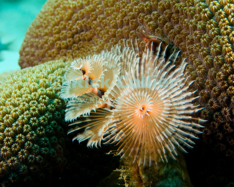 "Diving Bonaire, Netherland Antilles -- A delicate christmastree worm filters the water swirling past the coral head where it has attached.  (""Witch's Hut"" dive site -- also known as ""Weber's Joy"")  © Rick Collier<br /> <br /> <br /> <br /> <br /> Bonaire; ""Netherlands Antilles""; Caribbean; tropic; tropical; vacation; destination; underwater; scuba; diving; dive; ""scuba diving""; reef; coral; ""coral head""; ""Witch's Hut""; ""Weber's Joy""; worm; christmastree; ""Christmastree worm""; ""Christmas tree worm"";"