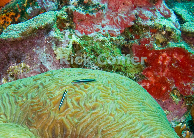 St. Eustatius (Statia) Underwater - Two cleaner fish (gobies) wait at their fish cleaning station on top of a brain coral.  © Rick Collier