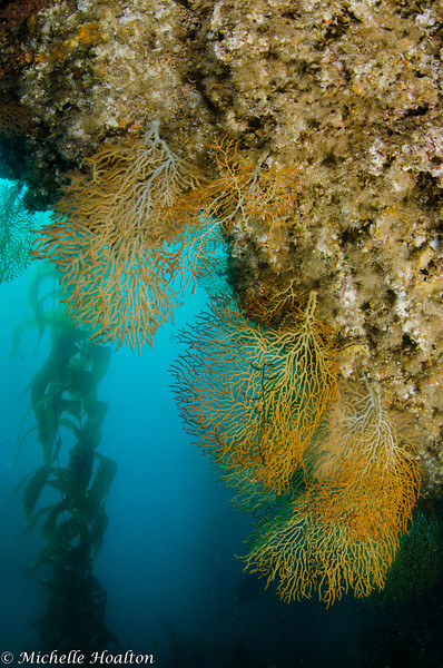 Golden gorgonians growing downward from an overhang on the reef.