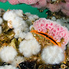 "A rock scallop is nearly completely camouflaged by the pink corynactis and small white anemones. However, the bright orange ""lips"" of the scallop are a dead giveaway."