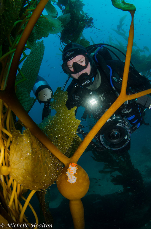 This diver spies a colorful triopha catalinae nudibranch resting on elkhorn kelp off of Catalina Island.