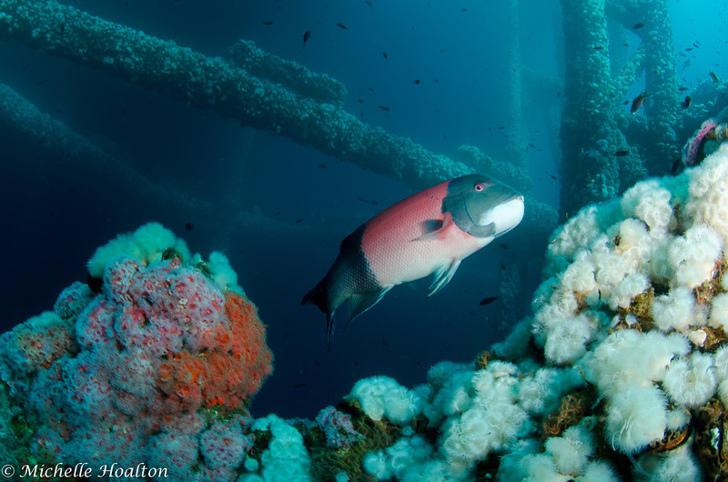 Large, healthy sheephead are found throughout the oil rigs off of Orange County, California's coast.