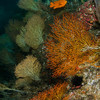 A plush forest of gorgonians cover the reef off Catalina Island.