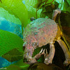 You never know what you will find taking advantage of the kelp forest's protective covering. On this occasion, a large sheep crab hovers on the bundled blades of kelp.