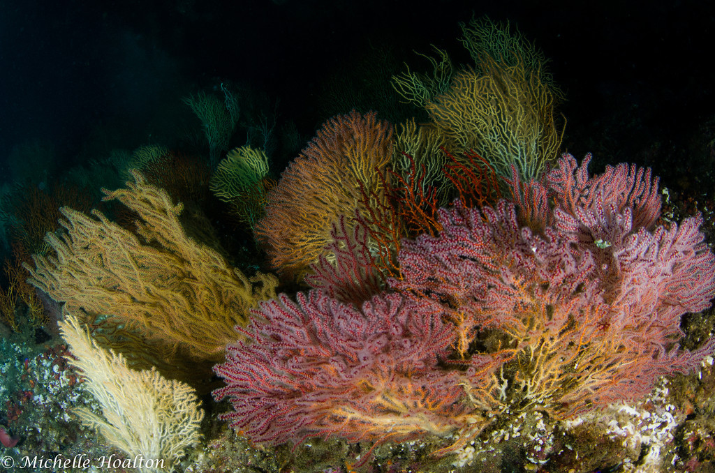 Colorful gorgonians blanket the sea floor off Catalina Island.