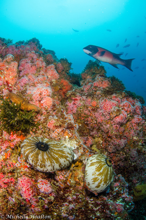 A large male sheephead oversees his reef territory full of colorful corynactis and decorated giant key hole limpits.