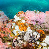 A cabezon blending into the array of color on the oil rig reef.