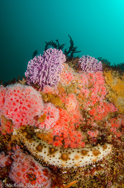 Purple hydrocoral is sprinkled throughout the ultra colorful reef at Farnsworth Banks, located on the backside of Catalina Island. An unusual and possibly invasive sea cucumber rests on this reef structure.