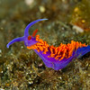Spansih Shawl nudibranch, Anacapa Island - July 2011