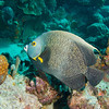 French Angelfish, Bonaire - December 2010