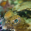 Flounder eye, Anacapa Island - July 2011
