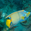 Queen Angelfish, Bonaire - December 2010