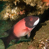 Male Sheephead, Catalina Island, October 2010