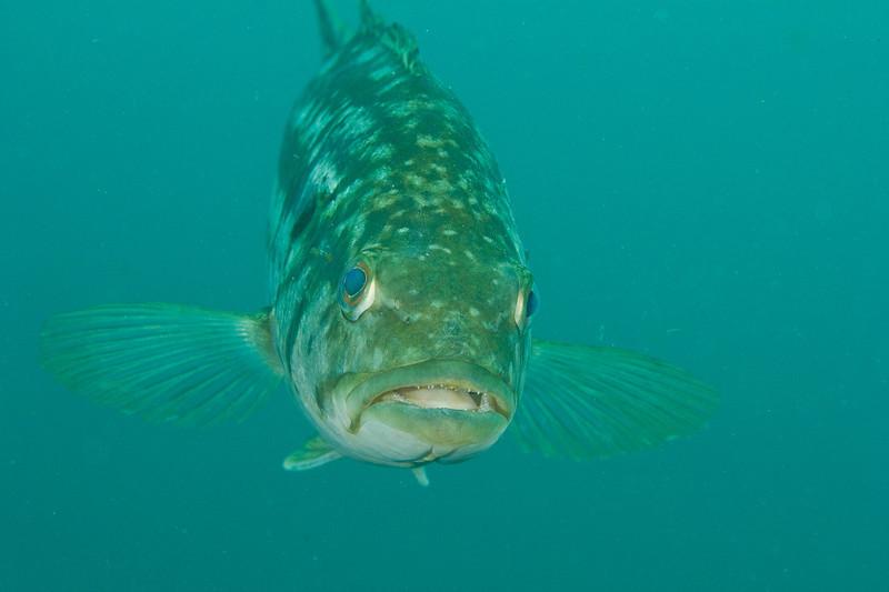 Kelp Bass, Anacapa Island - July 2011