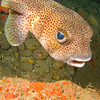 Porcupinefish, Dominica - June 2009