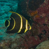 Juvinile Angelfish at Bari Reef, Bonaire - December 2010