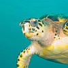 Hawksbill Turtle, Dominica - June 2009