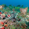 Lionfish on the reef, Jupiter, Florida - May 2011