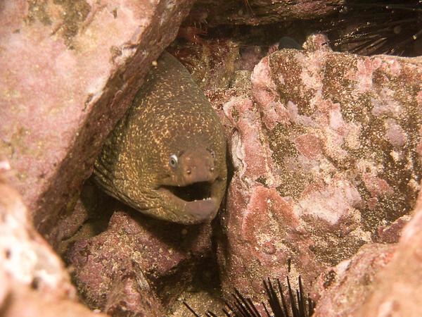 Moray Eel, Catalina Island - October 2010