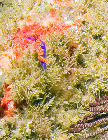 spanish shawl bycatch, 100% crop from the same earlier sea fan phot