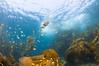 non-polarized school of kelp perch