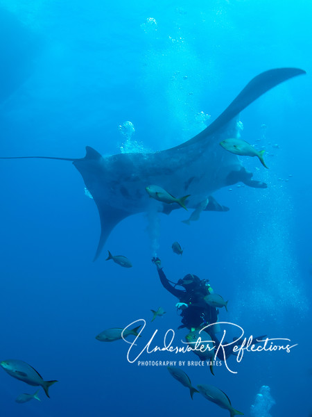 Here a diver gives a manta some extra bubbles by free-flowing his spare regulator as it passes.  The speculation is that mantas like bubbles because they feel like cleaner-fishes picking parasites off them, but no one knows for sure.